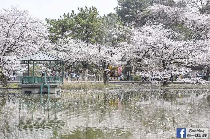 Omiya park sakura 15