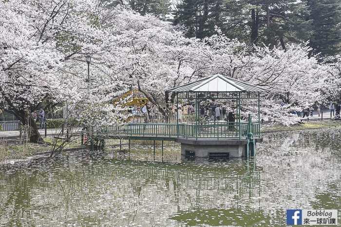 Omiya park sakura 17