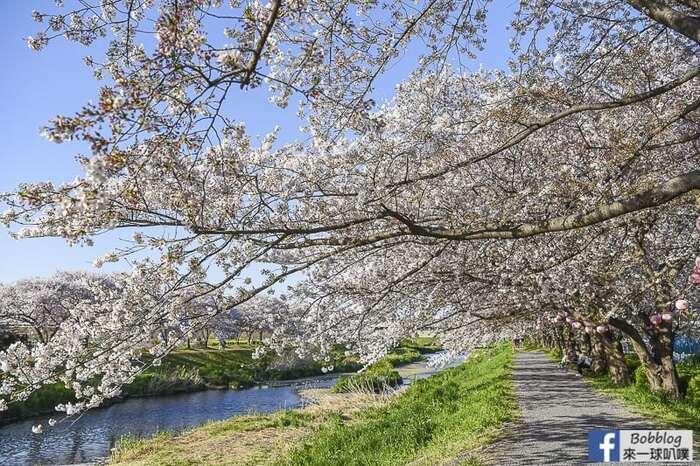 Saitama Kurome River Sakura 20