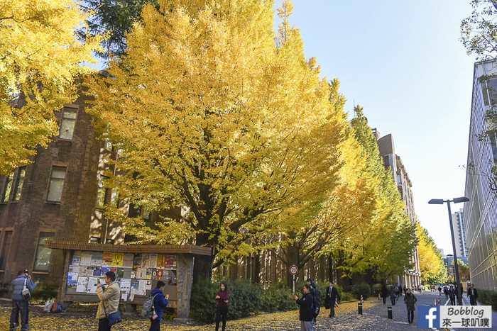 Tokyo university ginkgo tree 20