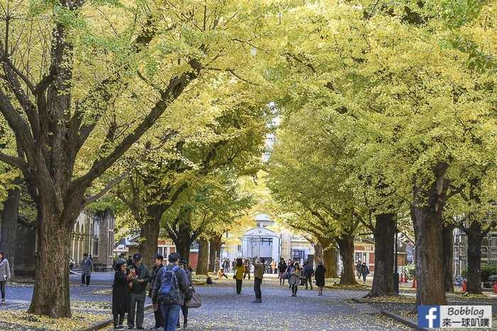 Tokyo university ginkgo tree 31