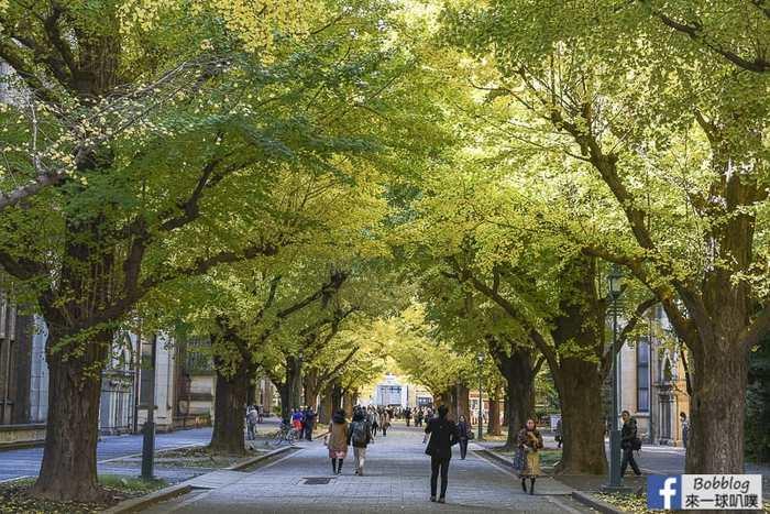 Tokyo university ginkgo tree 33