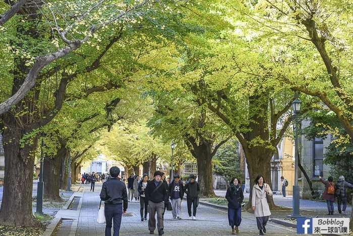 Tokyo university ginkgo tree 35