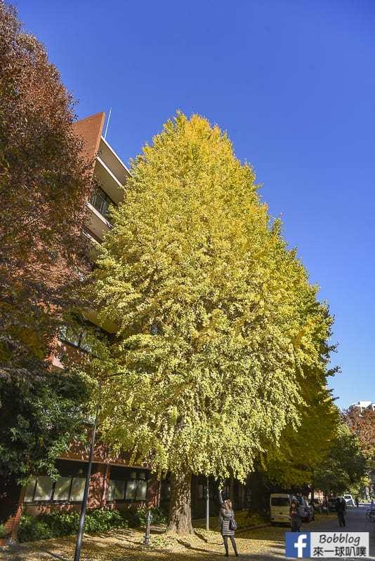 Tokyo university ginkgo tree 36