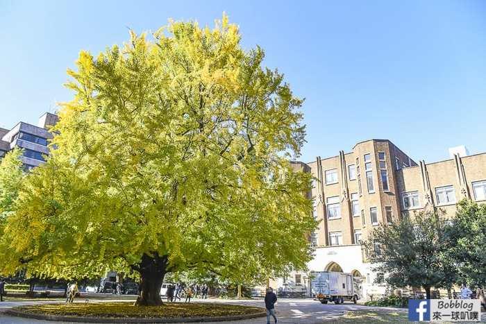 Tokyo university ginkgo tree 6