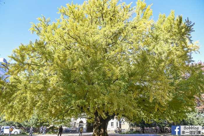 Tokyo university ginkgo tree 7