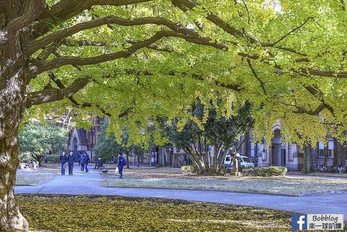 Tokyo university ginkgo tree 9