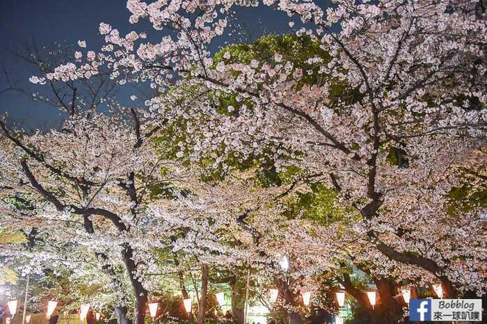 Ueno Park night sakura 14