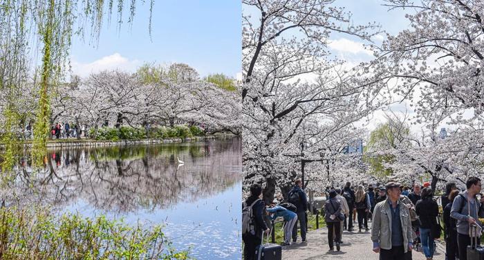 東京上野恩賜公園夜櫻(櫻花盛宴,越晚越熱鬧)