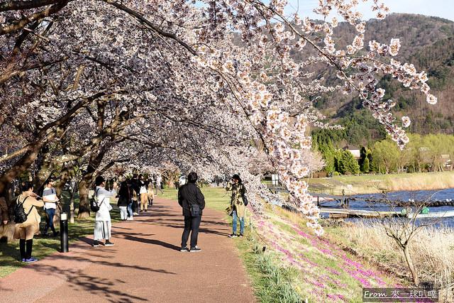 富士山河口湖櫻花季主會場45